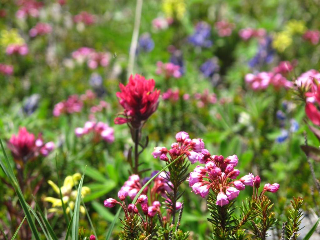 Wild Flowers, Mt. Rainier NP. Washington, USA