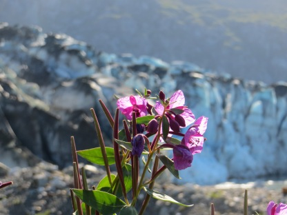 Fireweed and Glacier. Glacier Bay National Park and Preserve, Alaska.