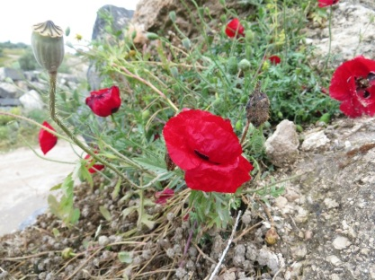 Poppies near the tri-border region of Syria, Jordan and Israel. Um Qais, Jordan.