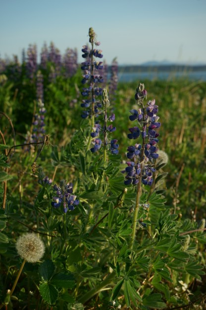 Lupine. Glacier Bay National Park and Preserve, Alaska.