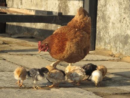 Chicks. Gondruck, Nepal,