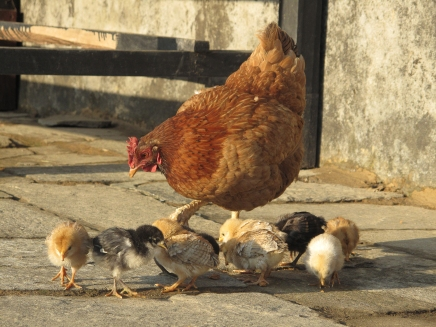 Chicks. Gondruck, Nepal,