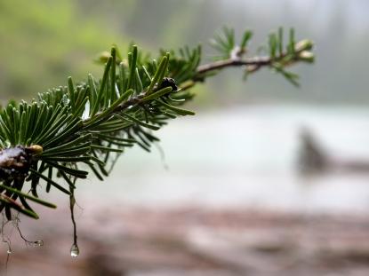 Rain on pine. Glacier National Park, Montana.