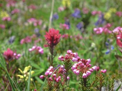Wildflowers. Rocky Mountain National Park, Colorado.