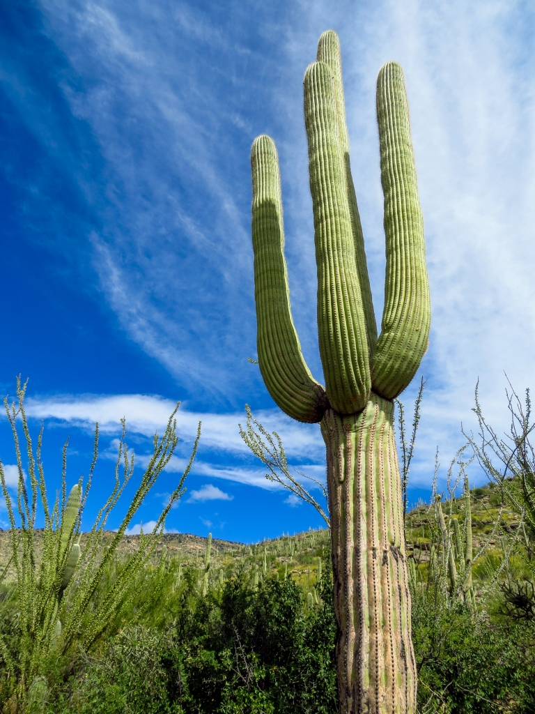 Saguaro Cactus, Saguaro National Park, Arizona.